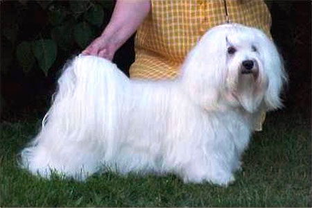 Bichon Havanais - CH. voila Wow that it's