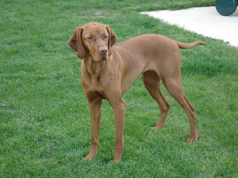 Les leveurs de chiens et de chiots de race s 39 unissent pour chiens de france - Braque hongrois a poil court ...