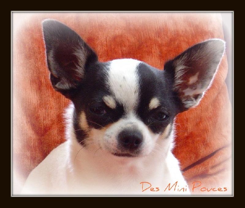 Les Chihuahua de l'affixe des Mini Pouces