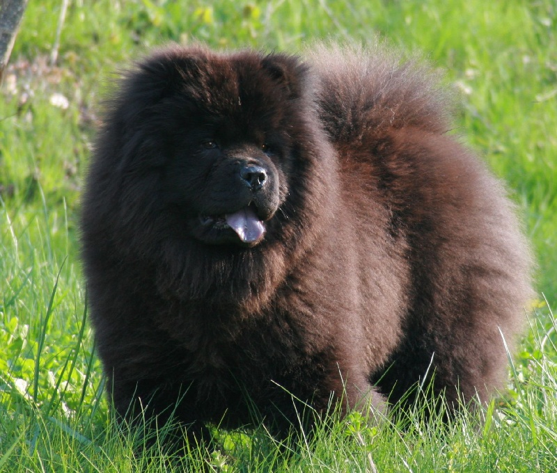 Chien - Elevage Chang Cheng - eleveur de chiens Chow Chow
