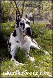Les Dogue allemand de l'affixe d'Iskandar