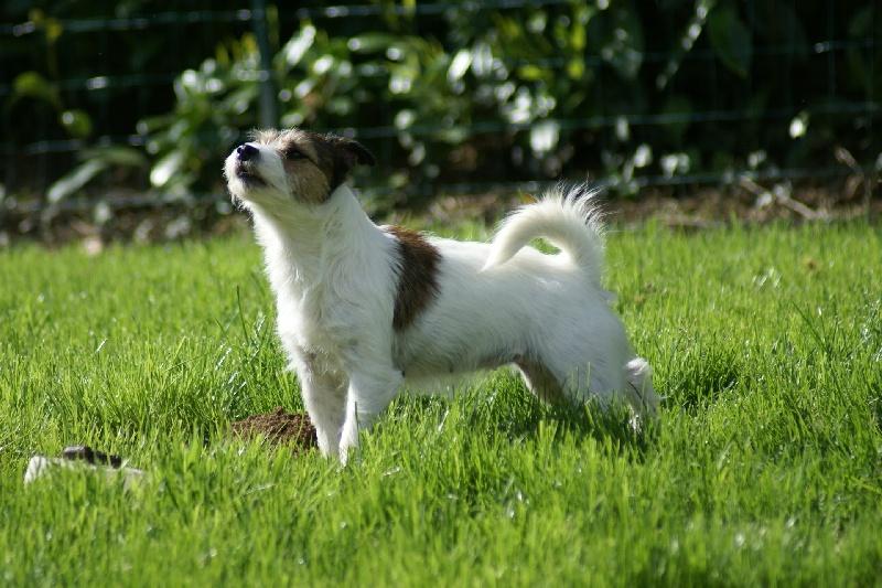 Les Jack Russell Terrier de l'affixe des Portes de l'Arrée