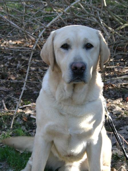 Les Labrador Retriever de l'affixe of elliotson's