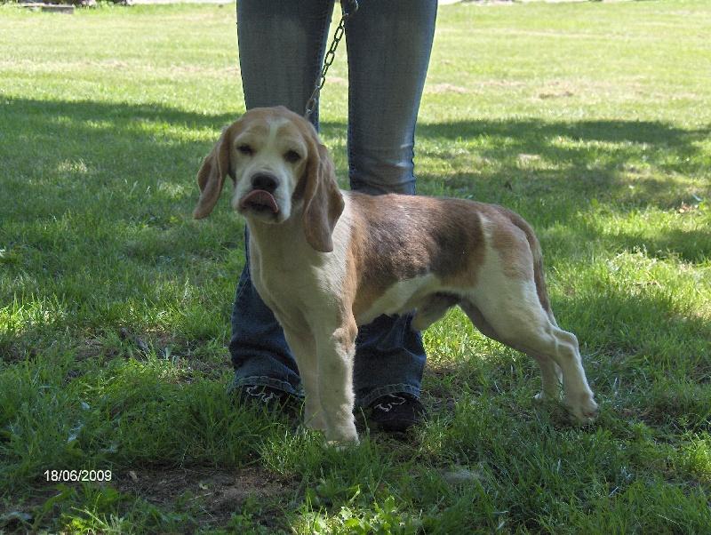 Les Beagle de l'affixe du bassin des cas d'or