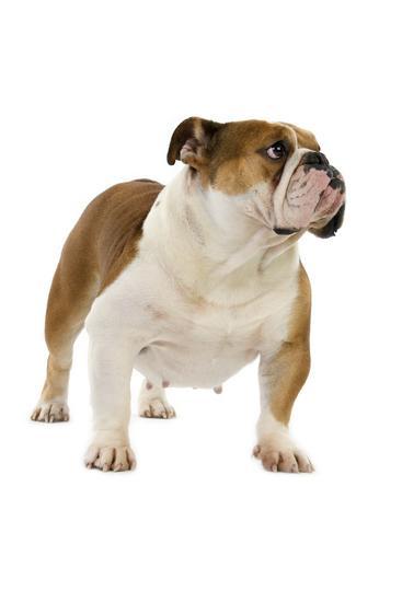 Les Bulldog Anglais de l'affixe des Roxa-Lina