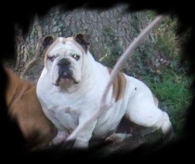 Les Bulldog Anglais de l'affixe du Royaume De Maléfice