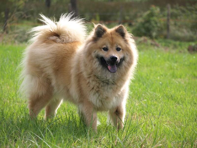 Chien - Elevage du biel d'argent - eleveur de chiens Eurasier