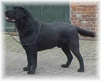 Labrador Retriever - Foxrush Jack flash
