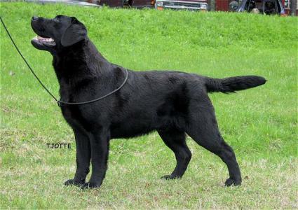 Labrador Retriever - Mallorn's Valentine
