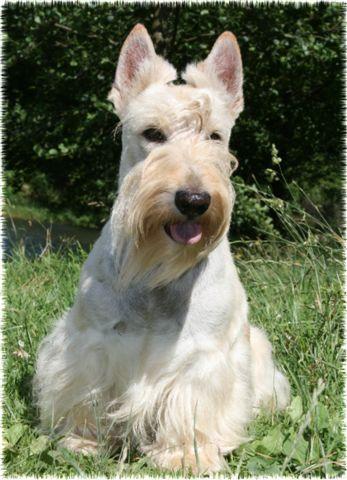 Les Scottish Terrier de l'affixe du Clan des Petits Colonels