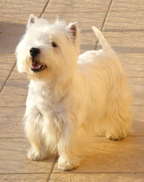 Les West Highland White Terrier de l'affixe du Little Soannan