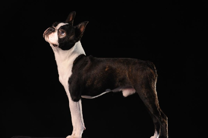 Boston Terrier - Beauline's Dr doolittle