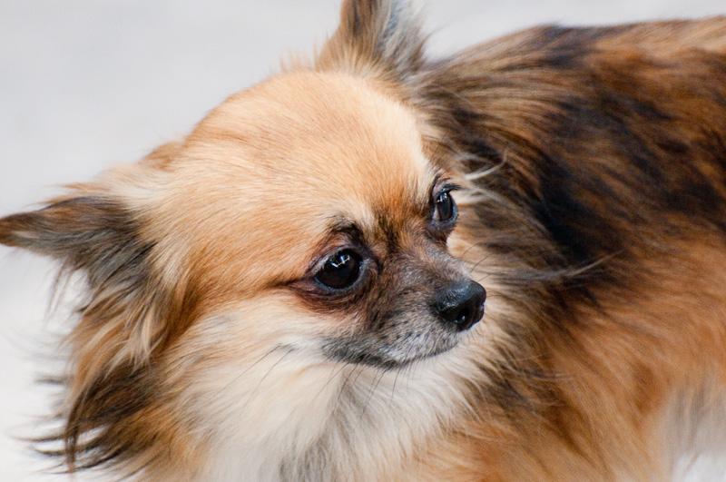 Les Chihuahua de l'affixe des Sources de l'Aube