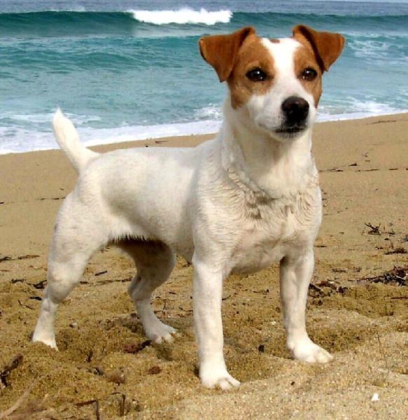 Les Jack Russell Terrier de l'affixe De FinBerYo