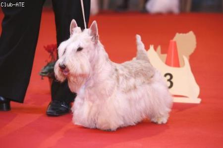 Les Scottish Terrier de l'affixe You'Dream'Scott