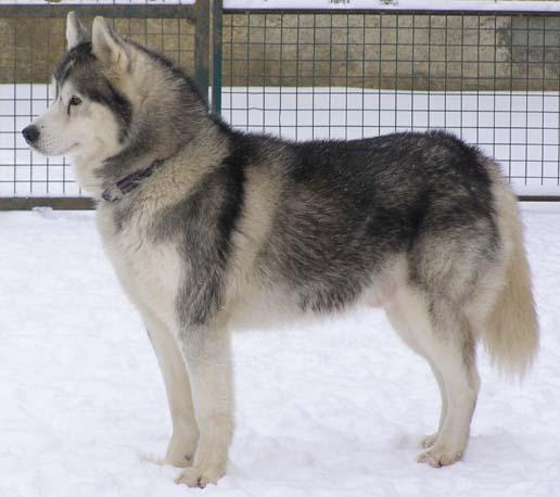 Les Siberian Husky de l'affixe de L'Igloo des Sables