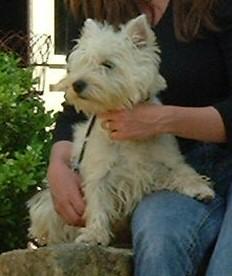 Les West Highland White Terrier de l'affixe d'Aydoilles