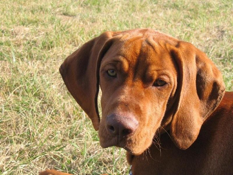 Chien elevage du hameau de bellacourt eleveur de chiens braque hongrois poil court vizsla - Braque hongrois a poil court ...