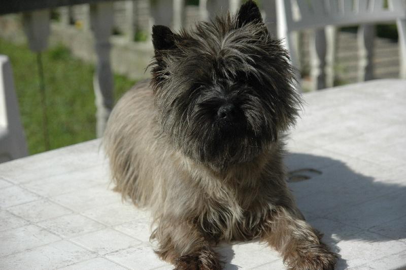 Les Cairn Terrier de l'affixe de la pinkinerie