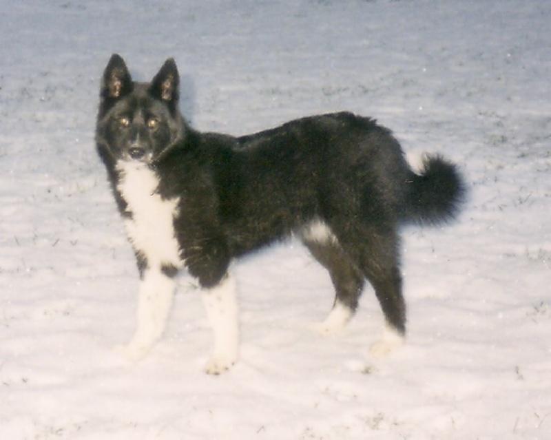 Le Standard de la race Chien d'ours de Carelie sur Atara.com