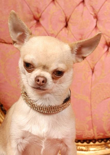Les Chihuahua de l'affixe Des Dunes De Keremma