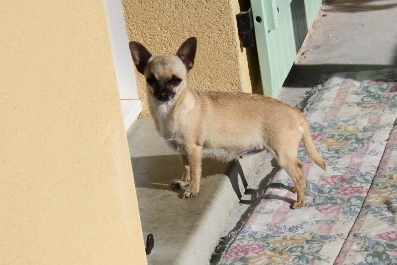 Les Chihuahua de l'affixe au jardin des merveilles