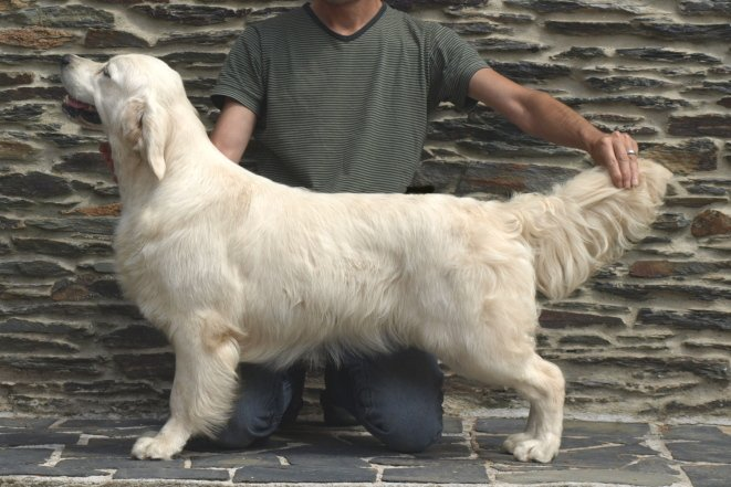 Les Golden Retriever de l'affixe Butterfl 'highland
