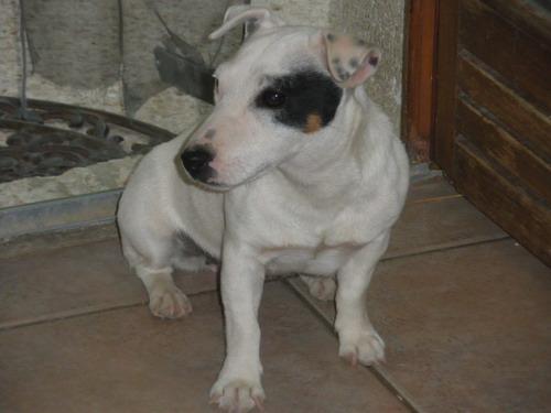 Les Jack Russell Terrier de l'affixe of Sheytane