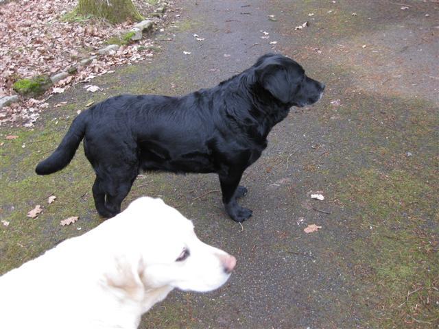 Le Standard de la race Labrador Retriever sur Atara.com