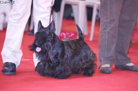 Les Scottish Terrier de l'affixe Gaterin