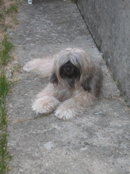 Les Terrier tibetain de l'affixe Shen Hdsin
