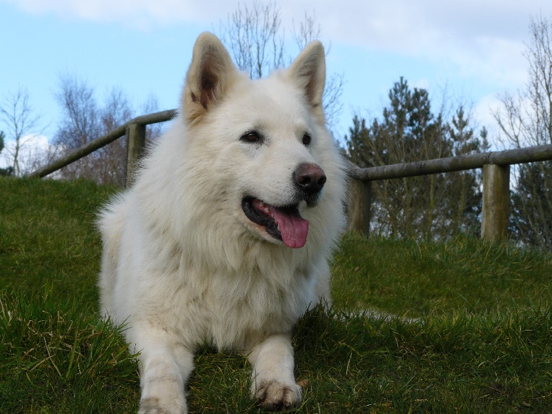 Berger Blanc Suisse - Vicking dit volper