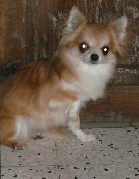 Les Chihuahua de l'affixe du Domaine de la Ghissignardiére