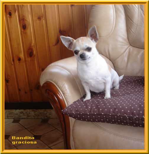 Les Chihuahua de l'affixe Of wyldsmoor