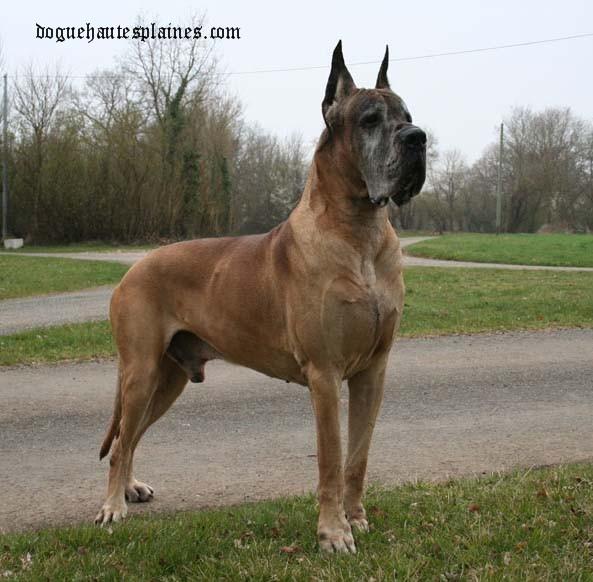 Les Dogue allemand de l'affixe du Domaine des Hautes Plaines