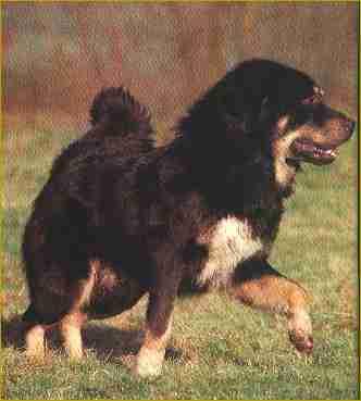 Dogue du Tibet - CH. Aga khan van chattang