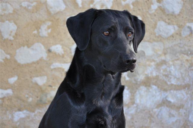 Les Labrador Retriever de l'affixe du Domaine de la Vallée de l'Andelle