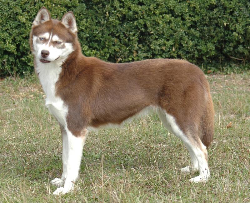 CH. Magic Wolf Cerridwen chien de race toutes races en