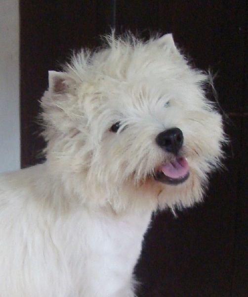 West Highland White Terrier - Diabolo menthe du Little Soannan