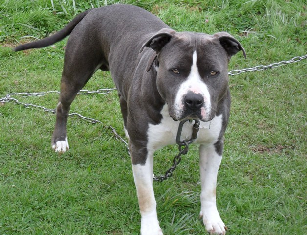 American Staffordshire Terrier - Bluesco