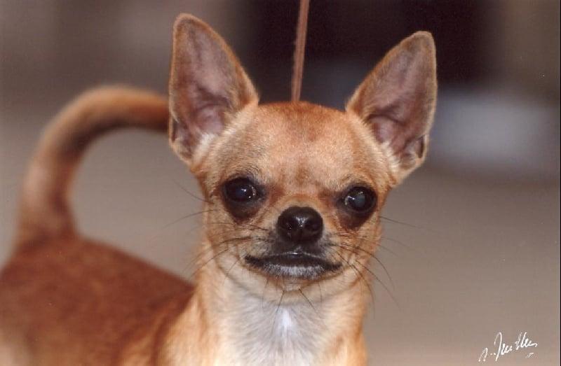 Les Chihuahua de l'affixe Des lianes de mysore