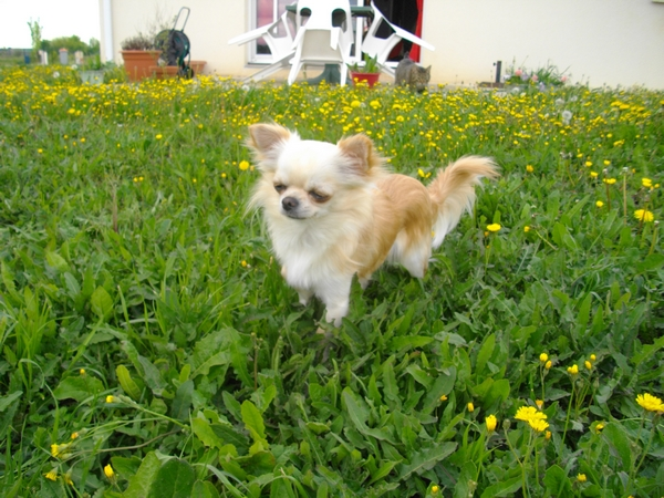 Les Chihuahua de l'affixe du Picculu Ribellu
