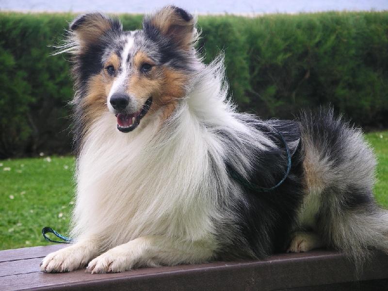 Les Shetland Sheepdog de l'affixe du Roc de la Bevera
