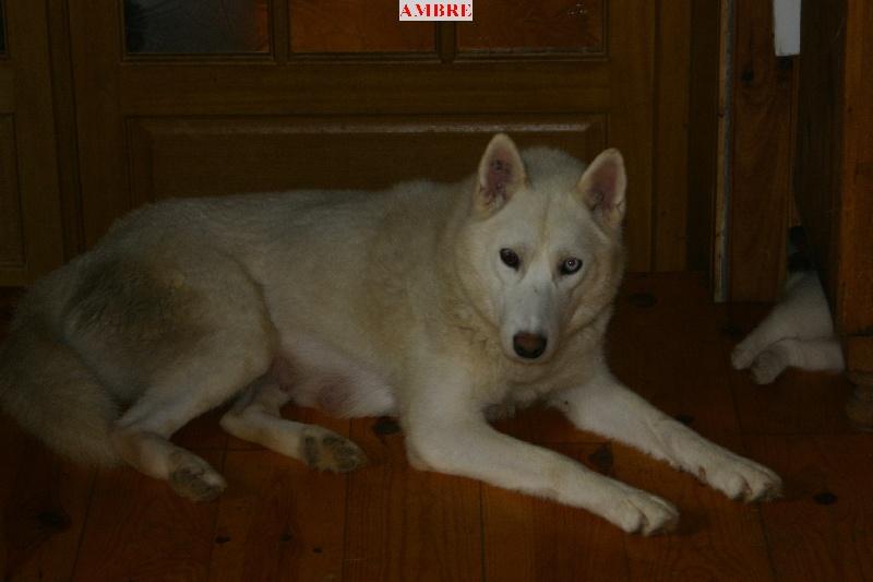 Les Siberian Husky de l'affixe du jardin de Mohegan