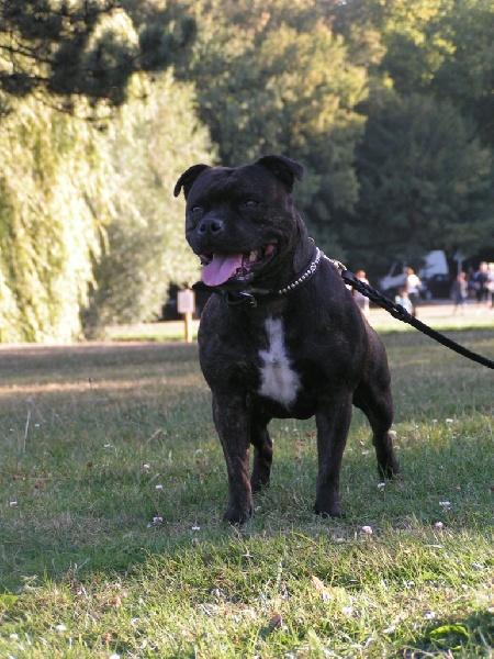 Les Staffordshire Bull Terrier de l'affixe shades of blues
