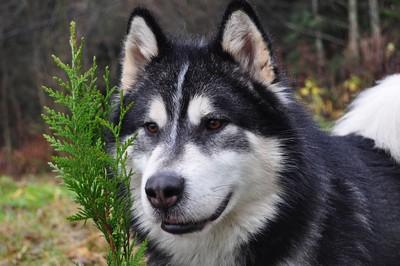 Les Alaskan Malamute de l'affixe of Edelweiss Forever