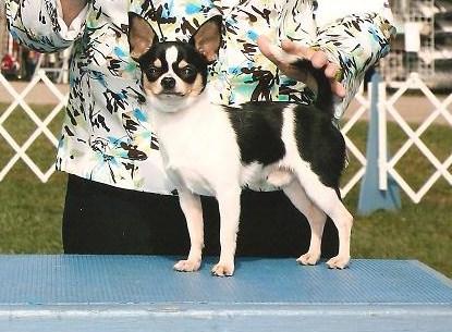 Les Chihuahua de l'affixe du Harpouy D'Auzan