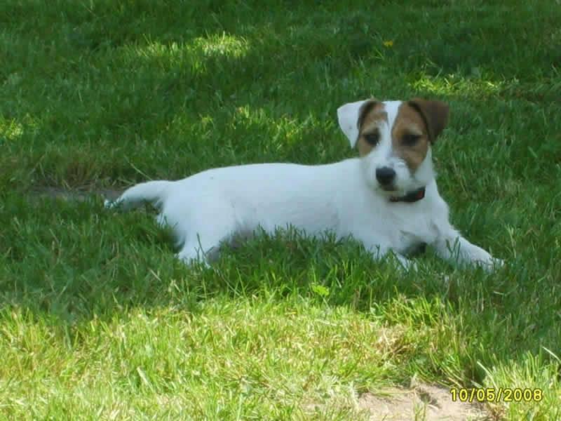 Les Jack Russell Terrier de l'affixe du Blason de l'Ourse