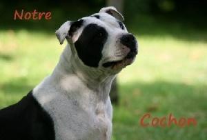 Les American Staffordshire Terrier de l'affixe Fanatic staff