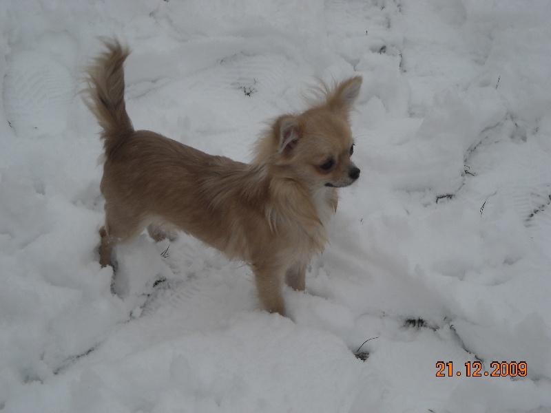 Les Chihuahua de l'affixe du Grand Cuzac